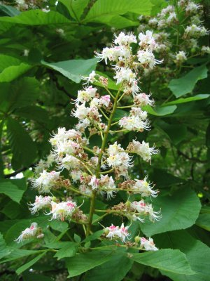 Fleurs de Bach,  le Marronnier blanc- White Chestnut
