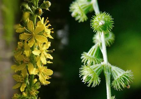 Fleurs de Bach, l'Aigremoine - Agrimony