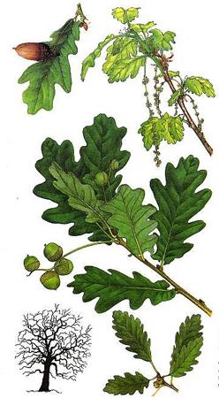 Fleurs de Bach, le Chêne - Oak