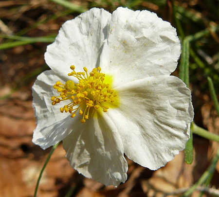 Fleurs de Bach, l'Heliantheme – Rock Rose