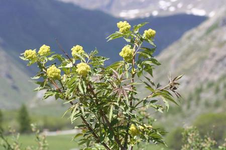 Fleurs de bach Scléranthe Scleranthus