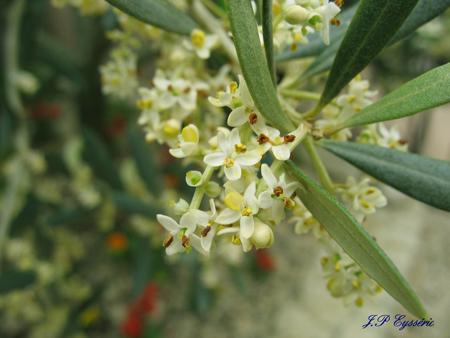 Fleurs de Bach Olivier - Olive