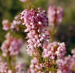Fleurs de Bach Bruyere - Heather
