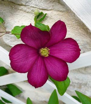 Fleurs de Bach Clematite - Clematis