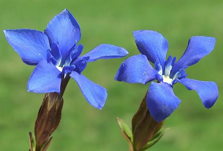 Fleurs de Bach Gentiane - Gentian