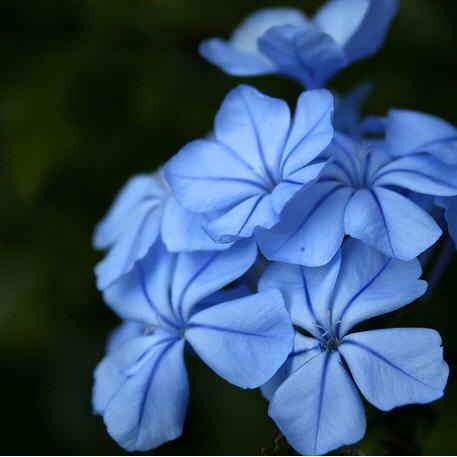 Fleurs de Bach Plumbago - Cerato
