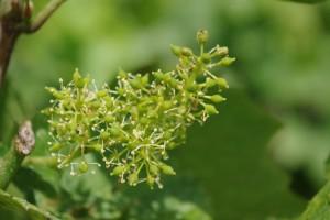 Fleurs de Bach Vigne – Vine