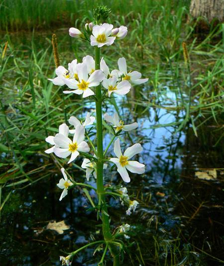 Fleurs de Bach, la Violette d'eau - Water Violet
