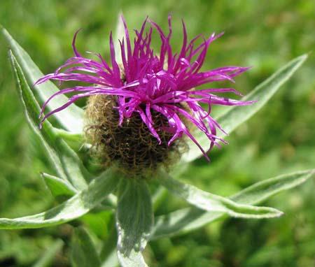 Fleurs de Bach, la Centaurée - Centaury