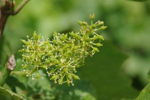 Fleurs de Bach Vigne - Vine